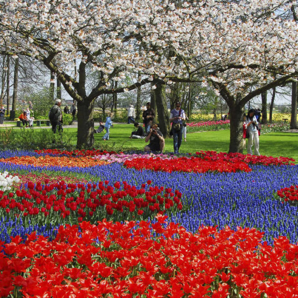 picture of cherry blossoms, muscari and tulips