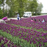 purple tulips photo stop